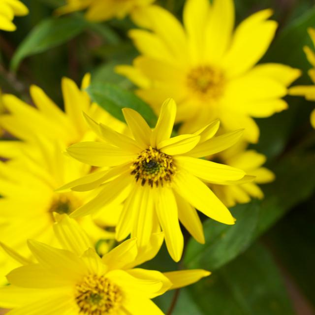 Sonnenblumen Strauss close