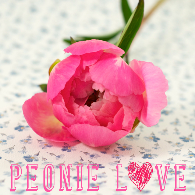 pinke_Pfingstrose